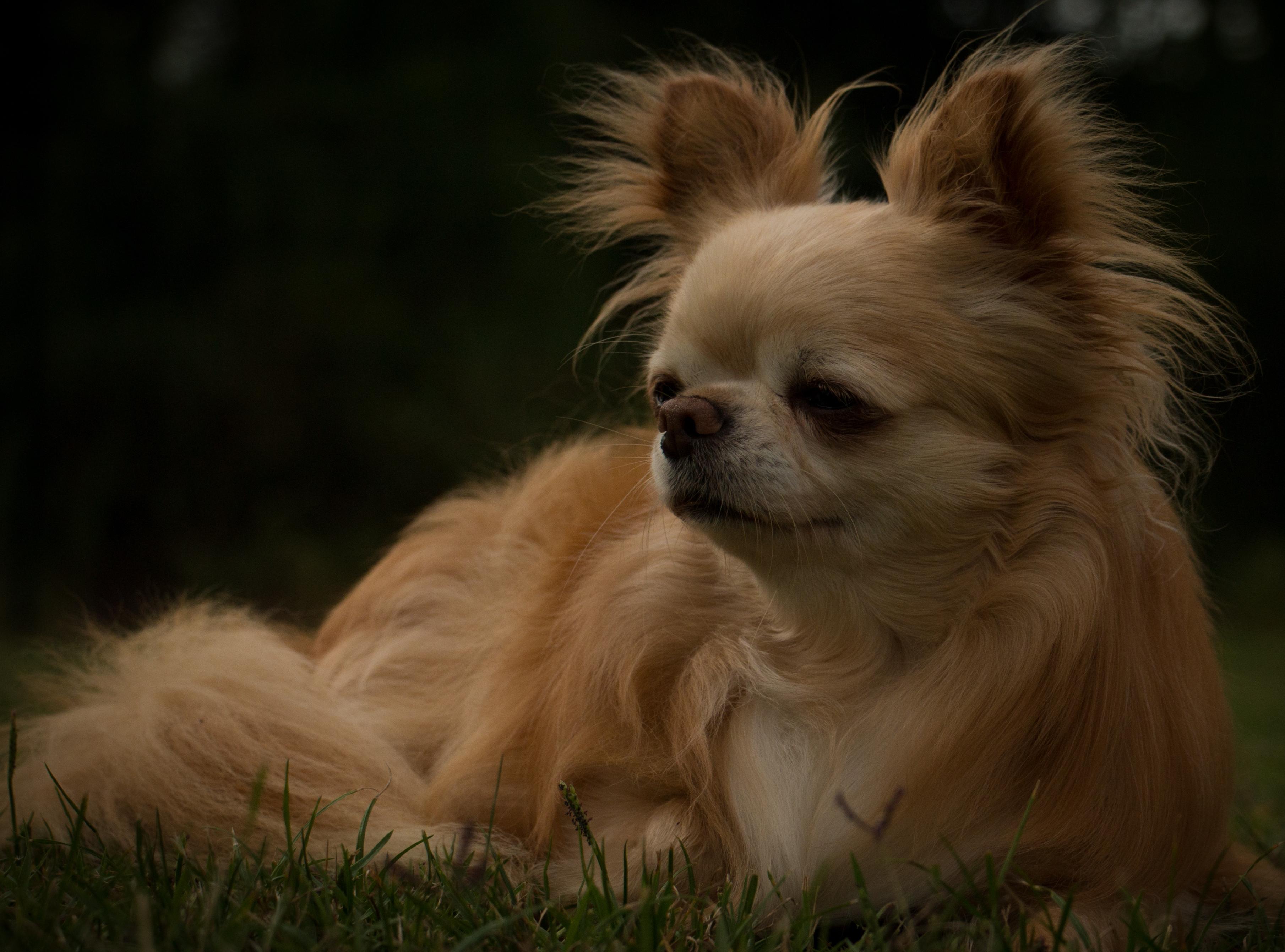 Le Choix Mâle Ou Femelle Chihuahua La Grande équinoxe