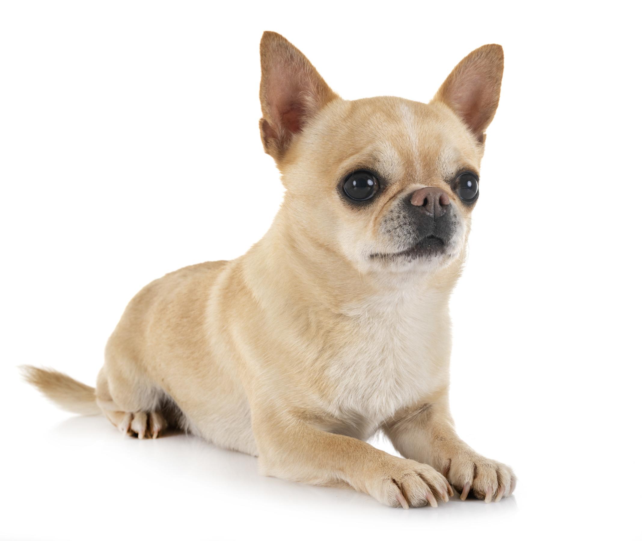 La Grande Equinoxe Elevage De Bichon Frise Chihuahuas Poil Long Et Poil Court Pension Canine Et Feline